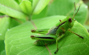 cricket insect hd
